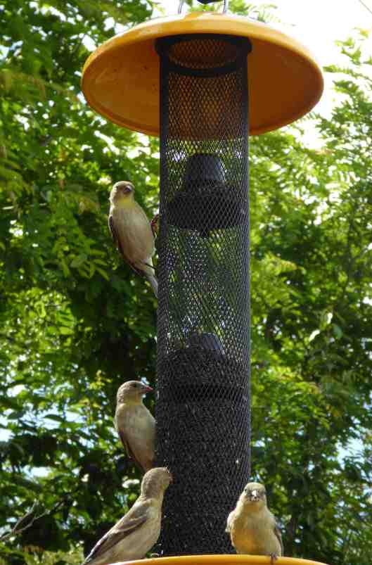 Finches_6_P1150351
