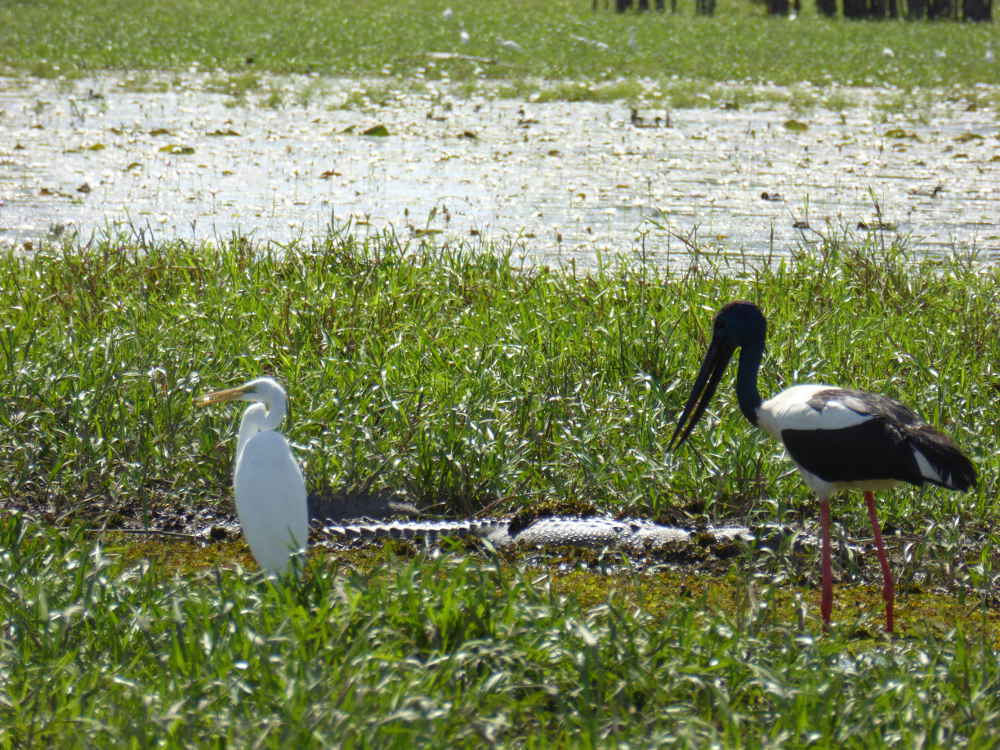 Croc_hidden_with_birds_P1160049