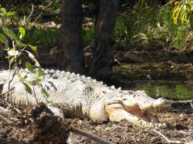 Croc_in_forest_P1160072