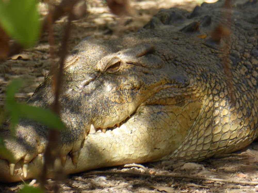 Croc_up_close_P1160171