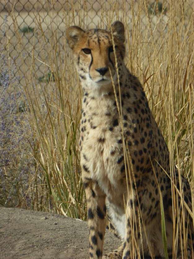 Cheetah_P1180665