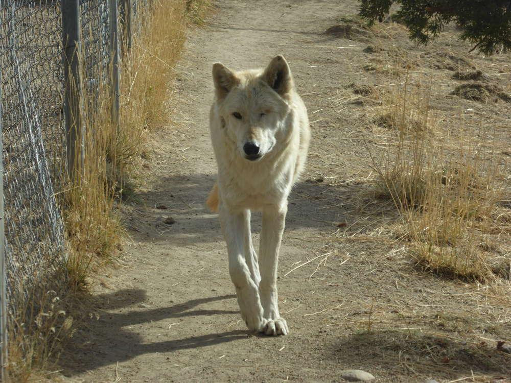 Gray_Wolf_P1180702